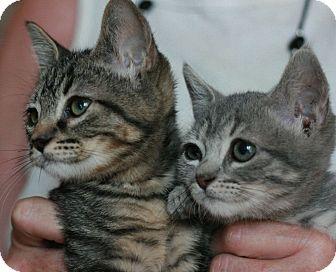 Hemingway/Polydactyl Kitten for adoption in Canoga Park, California - Echo