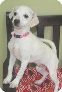 Poodle (Miniature)/Terrier (Unknown Type, Small) Mix Dog for adoption in Woonsocket, Rhode Island - Bella-Meet her!!