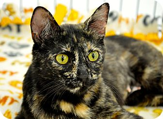 Domestic Shorthair Cat for adoption in Great Falls, Montana - Mama Bell