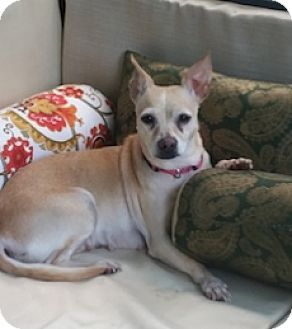Chihuahua Mix Dog for adoption in Framingham, Massachusetts - Sophie (Sophia)