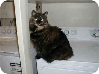 Domestic Longhair Cat for adoption in Toronto, Ontario - Lizzy