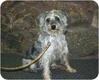 Terrier (Unknown Type, Medium)/Bearded Collie Mix Dog for adoption in Muldrow, Oklahoma - Flick