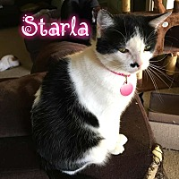 Domestic Mediumhair Cat for adoption in Wichita Falls, Texas - Starla