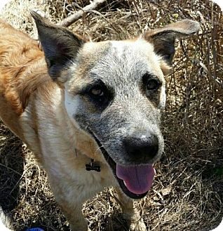Australian Cattle Dog/Shepherd (Unknown Type) Mix Dog for adoption in Von Ormy, Texas - PALMER