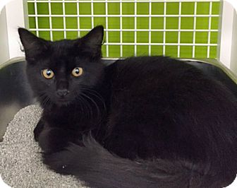 Domestic Longhair Kitten for adoption in Troy, Michigan - Hampton
