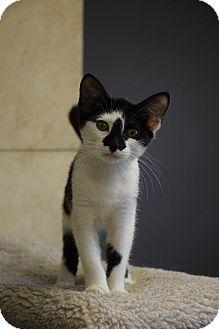American Shorthair Kitten for adoption in Lebanon, Missouri - Oreo