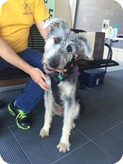 Irish Wolfhound/Terrier (Unknown Type, Medium) Mix Dog for adoption in Baton Rouge, Louisiana - Caitie