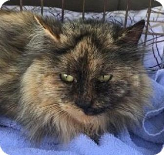 Maine Coon Cat for adoption in East Stroudsburg, Pennsylvania - Missy II