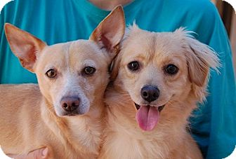 Spaniel (Unknown Type) Mix Dog for adoption in Las Vegas, Nevada - Ray