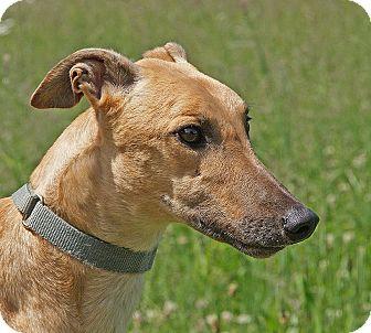 Greyhound Dog for adoption in Portland, Oregon - Superfly