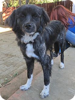 Australian Shepherd/Border Collie Mix Puppy for adoption in Van Nuys, California - Bunny