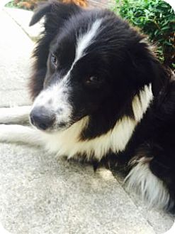 Border Collie Mix Dog for adoption in WAterford, Wisconsin - Betsy