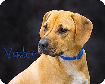 Boxer Mix Dog for adoption in Somerset, Pennsylvania - Vader