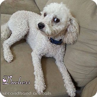 Poodle (Miniature) Mix Dog for adoption in Rosamond, California - Duchess