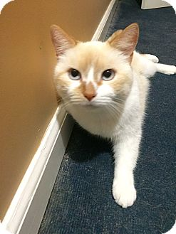 Siamese Cat for adoption in Old Bridge, New Jersey - Heather