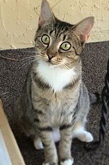 Domestic Shorthair Cat for adoption in Fort Lauderdale, Florida - Lucy Lu