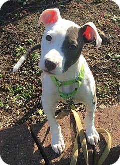 American Staffordshire Terrier/American Pit Bull Terrier Mix Puppy for adoption in North Olmsted, Ohio - Hiccup