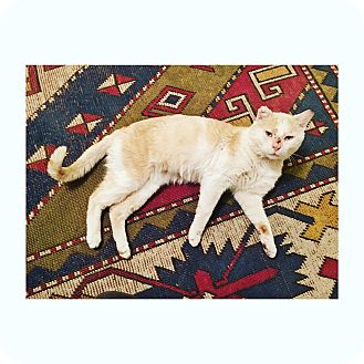 Domestic Shorthair Cat for adoption in Brooklyn, New York - Pirate