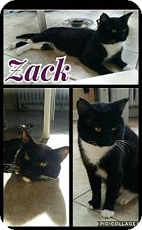 Domestic Shorthair Cat for adoption in Crown Point, Indiana - Zack (Adoption Pending)
