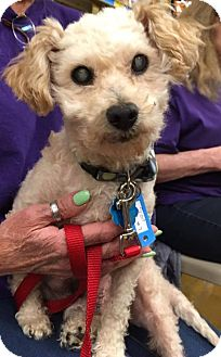 Poodle (Miniature) Mix Dog for adoption in Sugar Grove, Illinois - Scout