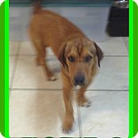 Basset Hound/Labrador Retriever Mix Dog for adoption in Albany, New York - ASTRO - $250