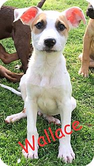 Labrador Retriever/Terrier (Unknown Type, Medium) Mix Puppy for adoption in North Brunswick, New Jersey - Wallace