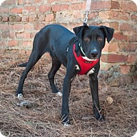 Labrador Retriever Mix Dog for adoption in Atlanta, Georgia - Maxwell