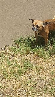 Chihuahua Dog for adoption in Palm Bay, Florida - Woofie