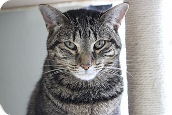 Domestic Shorthair Cat for adoption in Martinsville, Indiana - Fidget