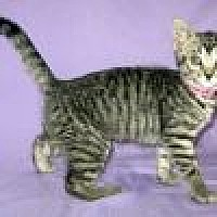 Adopt A Pet :: Whisper - Powell, OH