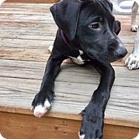 Adopt A Pet :: Bailey - Rexford, NY
