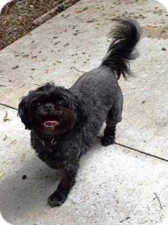 Shih Tzu Mix Dog for adoption in Kalamazoo, Michigan - Bandit