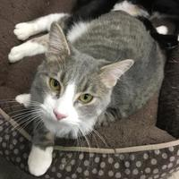 Domestic Shorthair/Domestic Shorthair Mix Cat for adoption in Fort Dodge, Iowa - Jerry