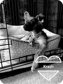Terrier (Unknown Type, Small) Mix Puppy for adoption in Las Vegas, Nevada - Crash