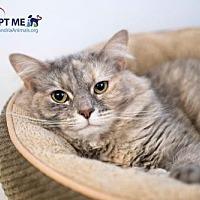 Adopt A Pet :: Mrs. Kitty - Alexandria, VA