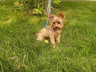 Yorkie, Yorkshire Terrier Dog for adoption in E. Wenatchee, Washington - Squeaker