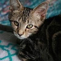 Adopt A Pet :: Katness - Attalla, AL