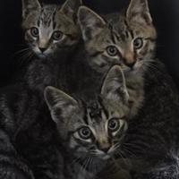 Adopt A Pet :: Grey Boy 1 - Athabasca, AB