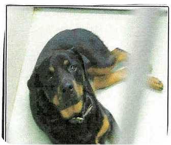 Rottweiler Dog for adoption in Alpine, California - Babs