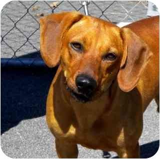 Dachshund Mix Dog for adoption in Washington, North Carolina - Bucky