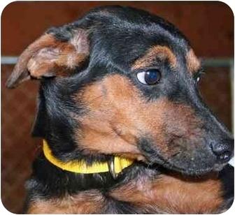 Dachshund Mix Dog for adoption in Arkadelphia, Arkansas - Katie