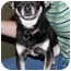 Photo 4 - Chihuahua Dog for adoption in Tuttle, Oklahoma - Zip