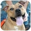 Photo 2 - Mastiff/American Pit Bull Terrier Mix Dog for adoption in Long Beach, New York - Precious