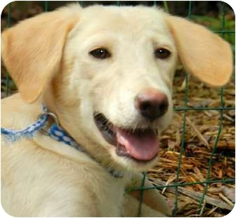 Labrador Retriever Mix Puppy for adoption in Wakefield, Rhode Island - FAITH