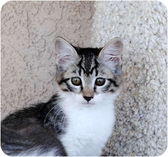 Domestic Shorthair Kitten for adoption in Palmdale, California - Cricket