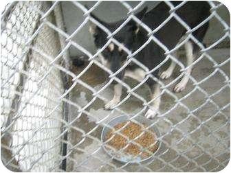 Shepherd (Unknown Type) Mix Dog for adoption in Henderson, North Carolina - Smokie