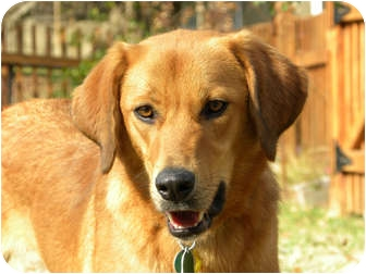 Retriever (Unknown Type)/Hound (Unknown Type) Mix Dog for adoption in Hagerstown, Maryland - JOSIAH
