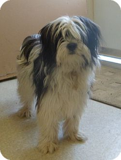 Lhasa Apso/Shih Tzu Mix Dog for adoption in Jerome, Idaho - Dillion
