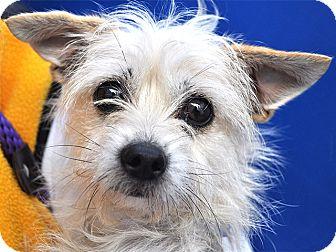 Cairn Terrier/Westie, West Highland White Terrier Mix Dog for adoption in Hawthorne, California - Chrissy
