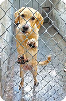Great Pyrenees/Collie Mix Puppy for adoption in Wichita, Kansas - Princess Kate